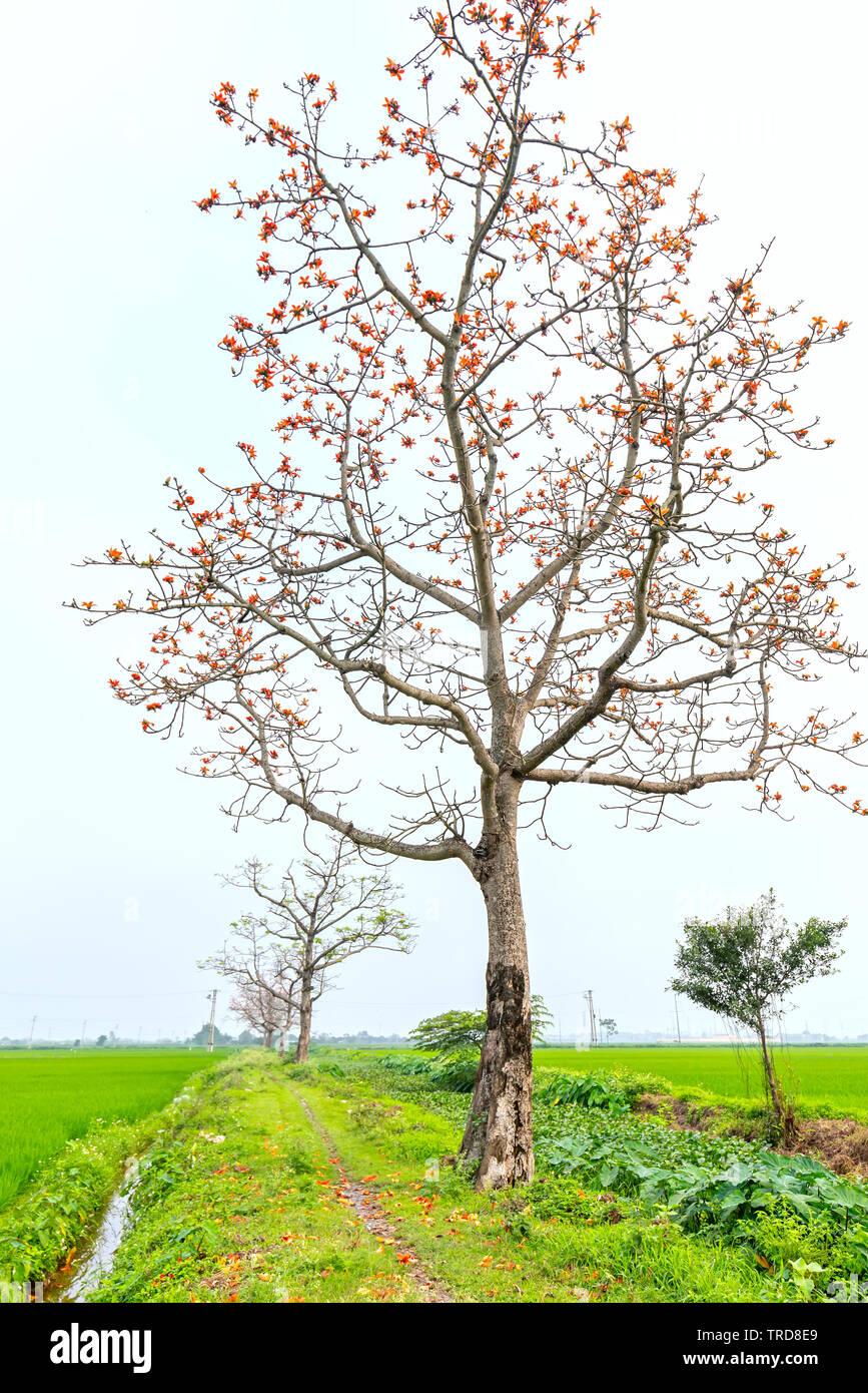 Bombax Ceiba Tree Stock Photos & Bombax Ceiba Tree Stock Images - Alamy