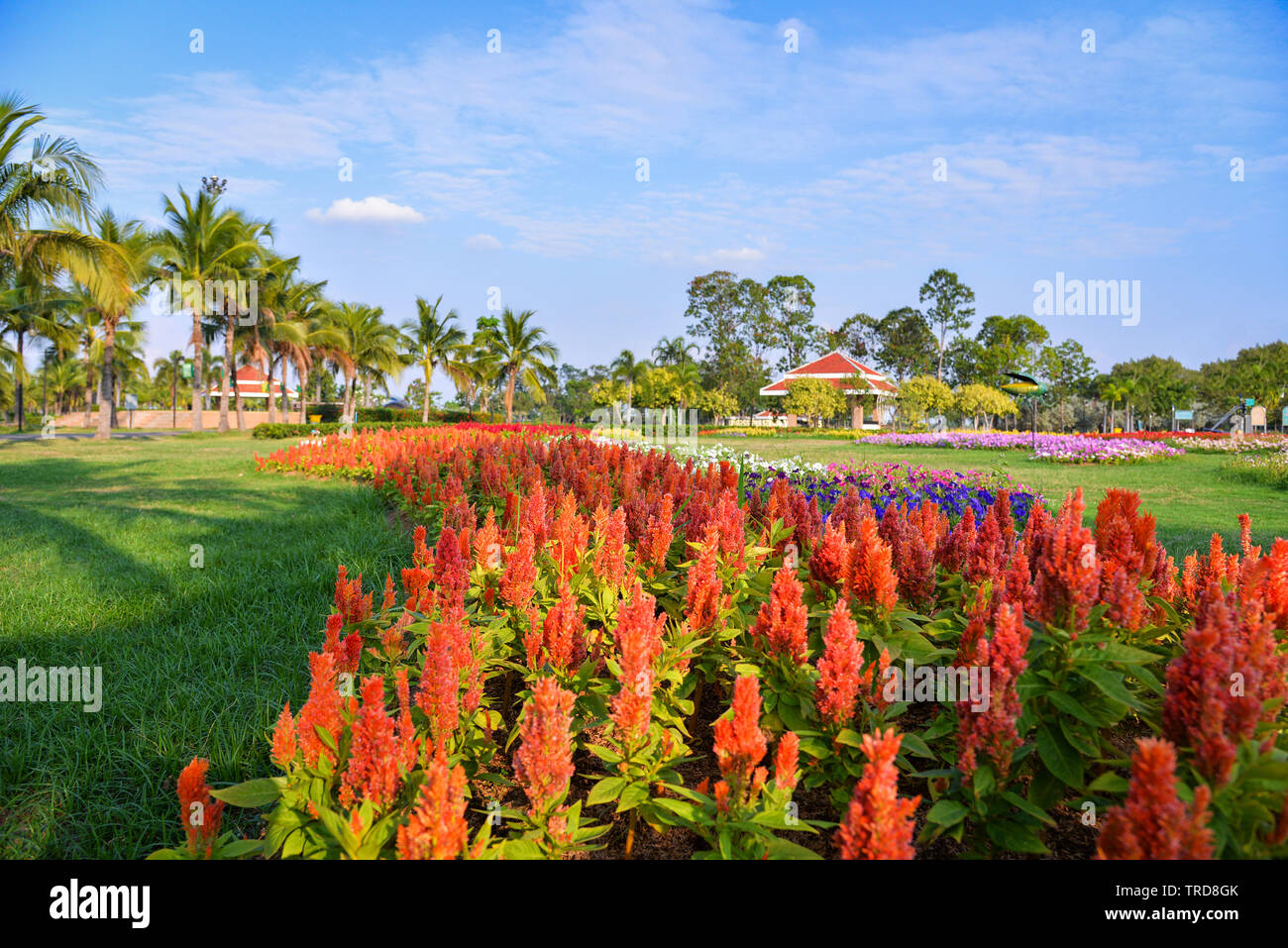 Orange plumed cockscomb or Celosia argentea blossom in the colorful garden spring flower park Stock Photo