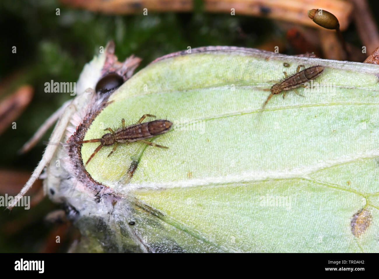 Springtails (Collembola) feeding on a dead brismtone butterfly - Stock Image