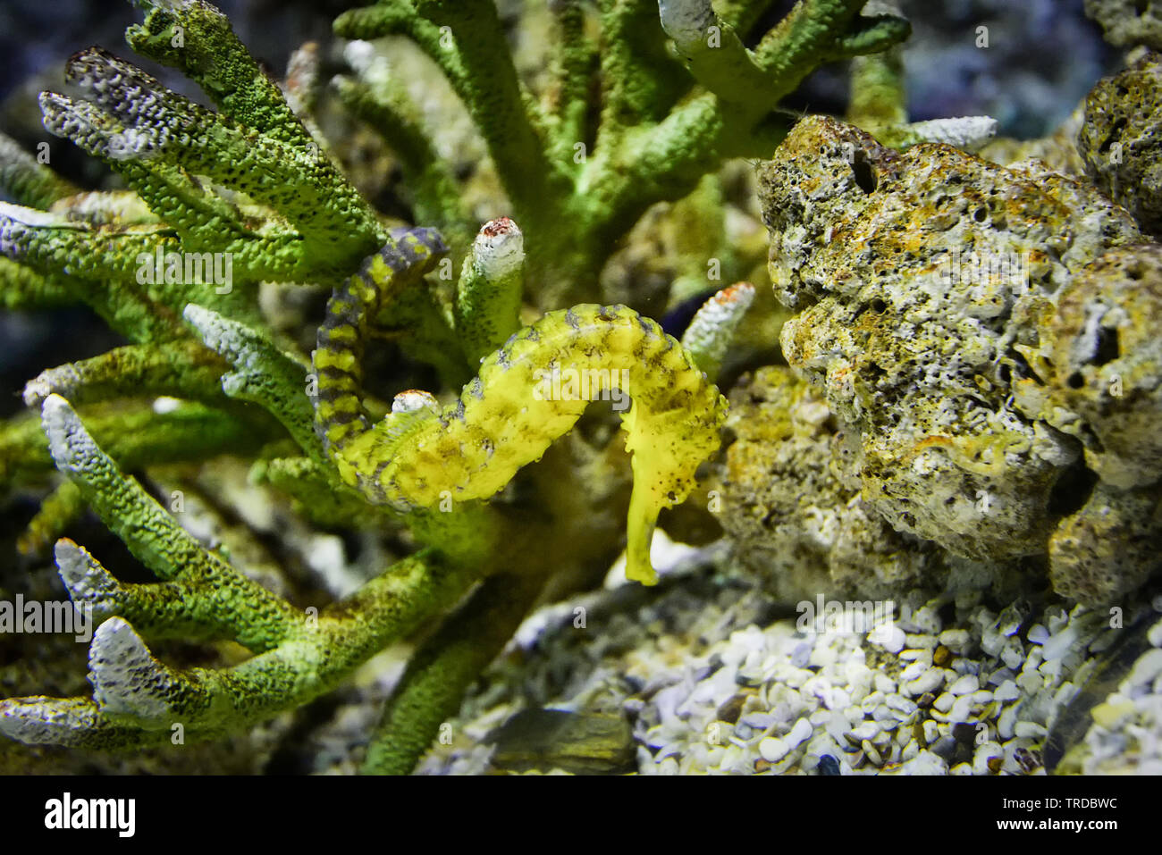 Thorny Seahorse Cute Sea Animal Beautiful Yellow Sea Horse Swimming Underwater Ocean Stock Photo Alamy