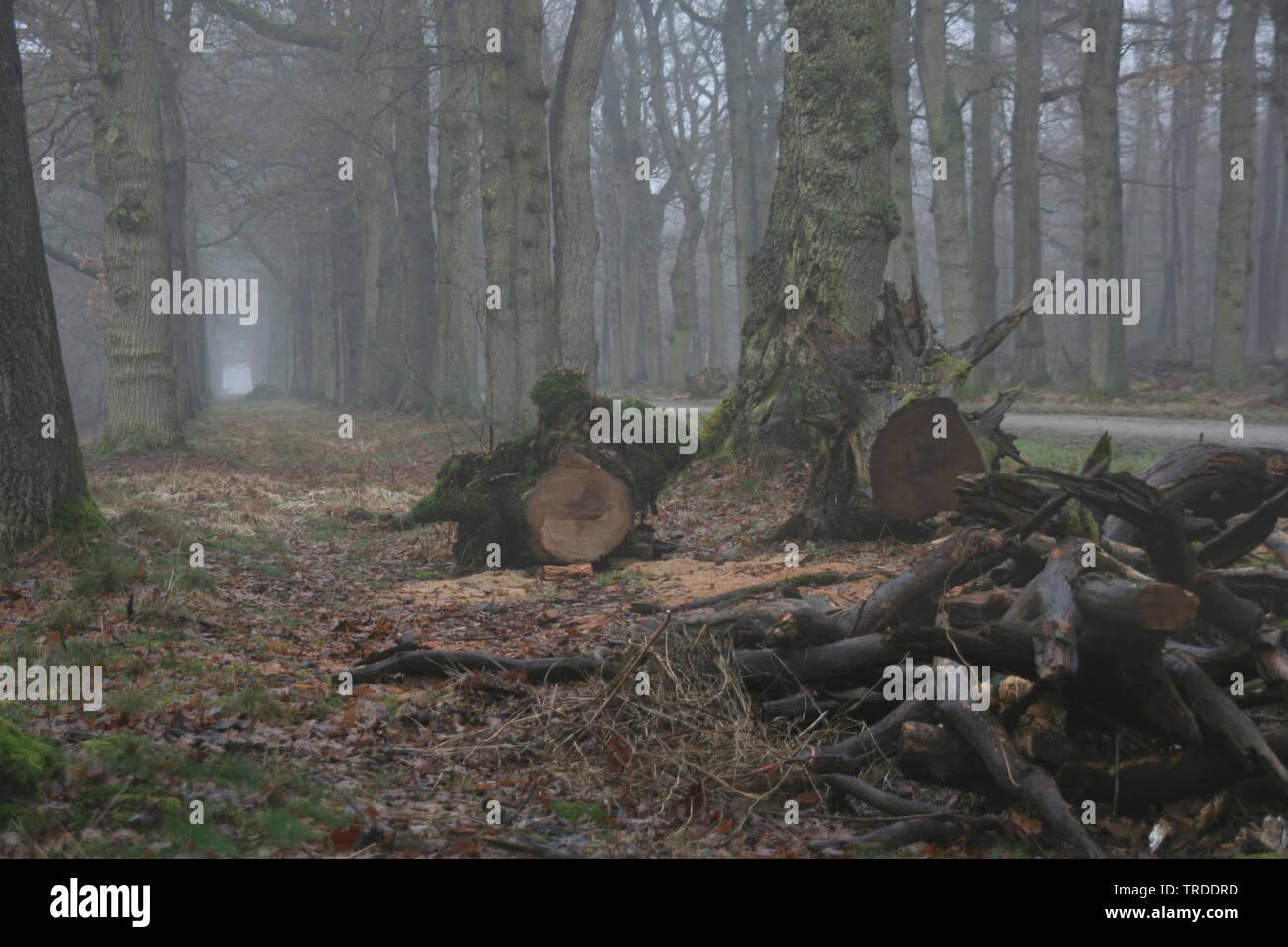 Nebel im Wald in Beneden Regge, Niederlande, Overijssel   Forest in winter in Vecht en Beneden Regge, Netherlands, Overijssel   BLWS501081.jpg [ (c) b - Stock Image