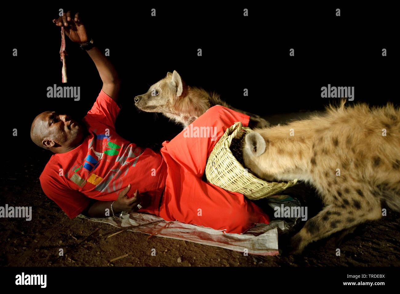 Tuepfelhyaene, Tuepfel-Hyaene, Fleckenhyaene, Flecken-Hyaene (Crocuta crocuta), Hyaenen-Mann von Harar fuettert zwei Hyaenen, Aethiopien, Harar   spot - Stock Image