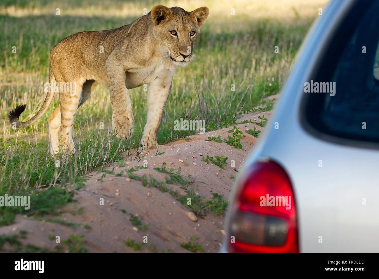 Safari In Va >> Safari Va Stock Photos Safari Va Stock Images Alamy