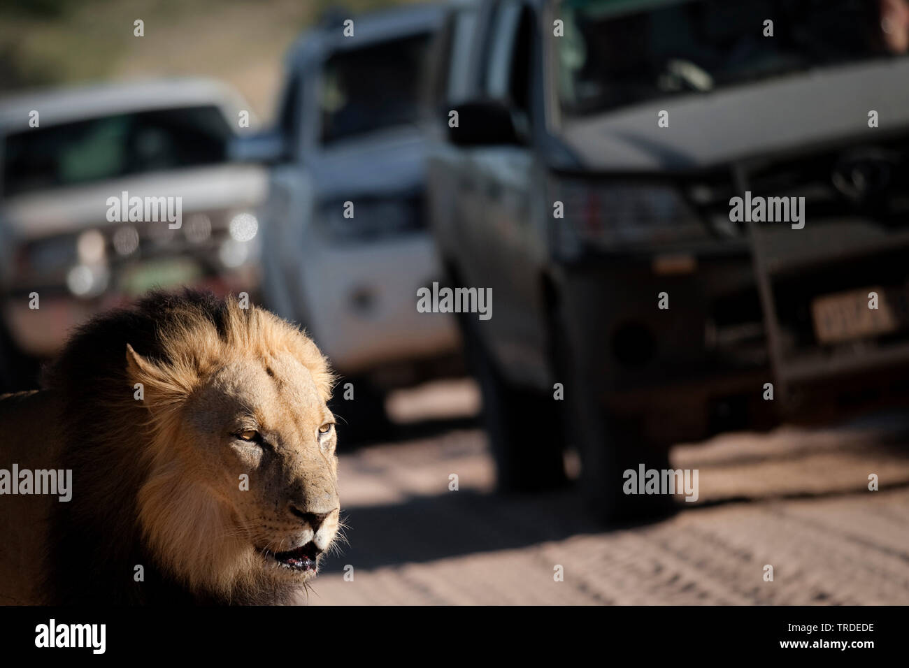 lion (Panthera leo), male lion on a busy road, South Africa Stock Photo