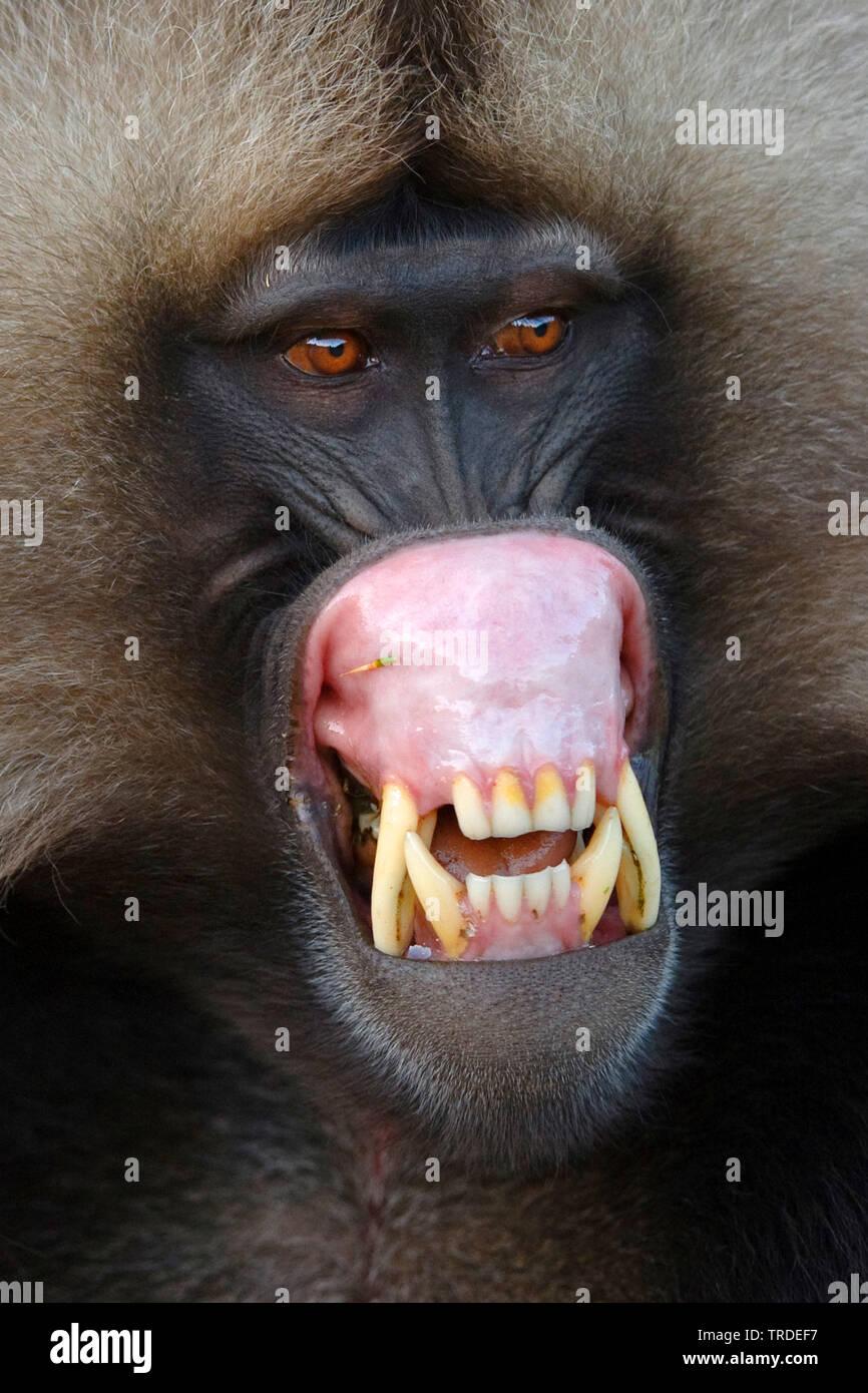 Dschelada, Blutbrustpavian, Blutbrust-Pavian (Theropithecus gelada), fletscht die Zaehne, Aethiopien, Simien Mountains Nationalpark   gelada, gelada b - Stock Image