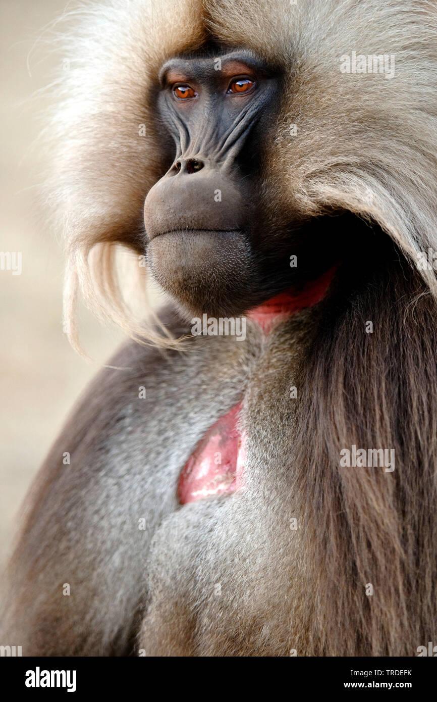 Dschelada, Blutbrustpavian, Blutbrust-Pavian (Theropithecus gelada), Portraet, Aethiopien, Simien Mountains Nationalpark | gelada, gelada baboons (The - Stock Image