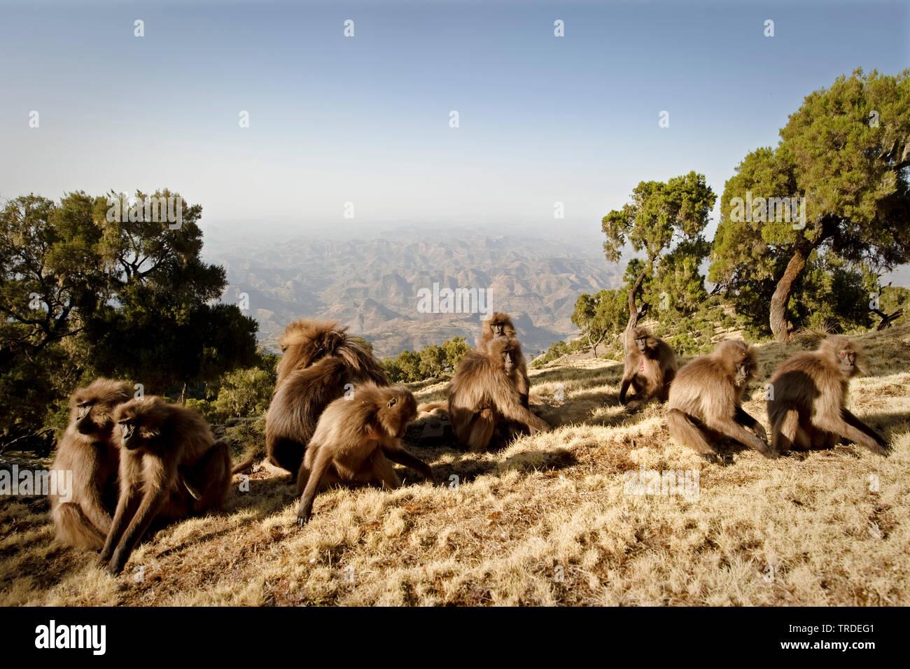 Dschelada, Blutbrustpavian, Blutbrust-Pavian (Theropithecus gelada), Dscheladas in den Semien-Bergen, Aethiopien, Simien Mountains Nationalpark   gela - Stock Image
