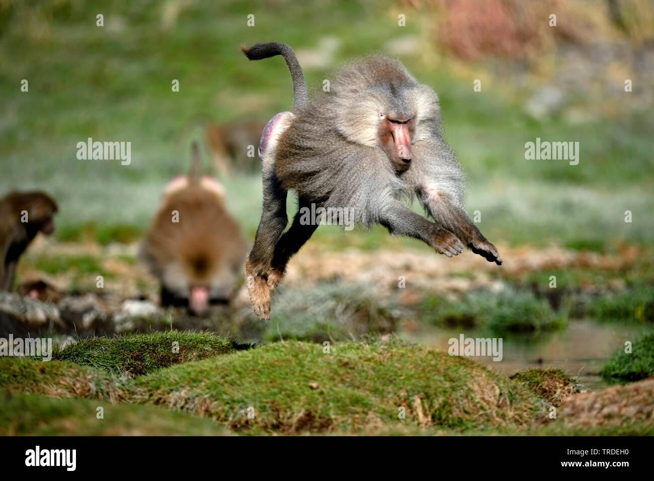 Mantelpavian, Mantel-Pavian (Papio hamadryas), im Sprung, Aethiopien, Awash Nationalpark   hamadryas baboon, sacred baboon (Papio hamadryas), jumping, - Stock Image