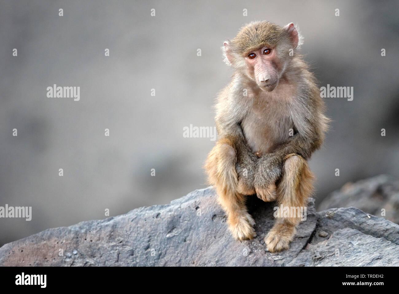 Mantelpavian, Mantel-Pavian (Papio hamadryas), Jungtier sitzt auf einem Felsen, Aethiopien, Awash Nationalpark   hamadryas baboon, sacred baboon (Papi - Stock Image