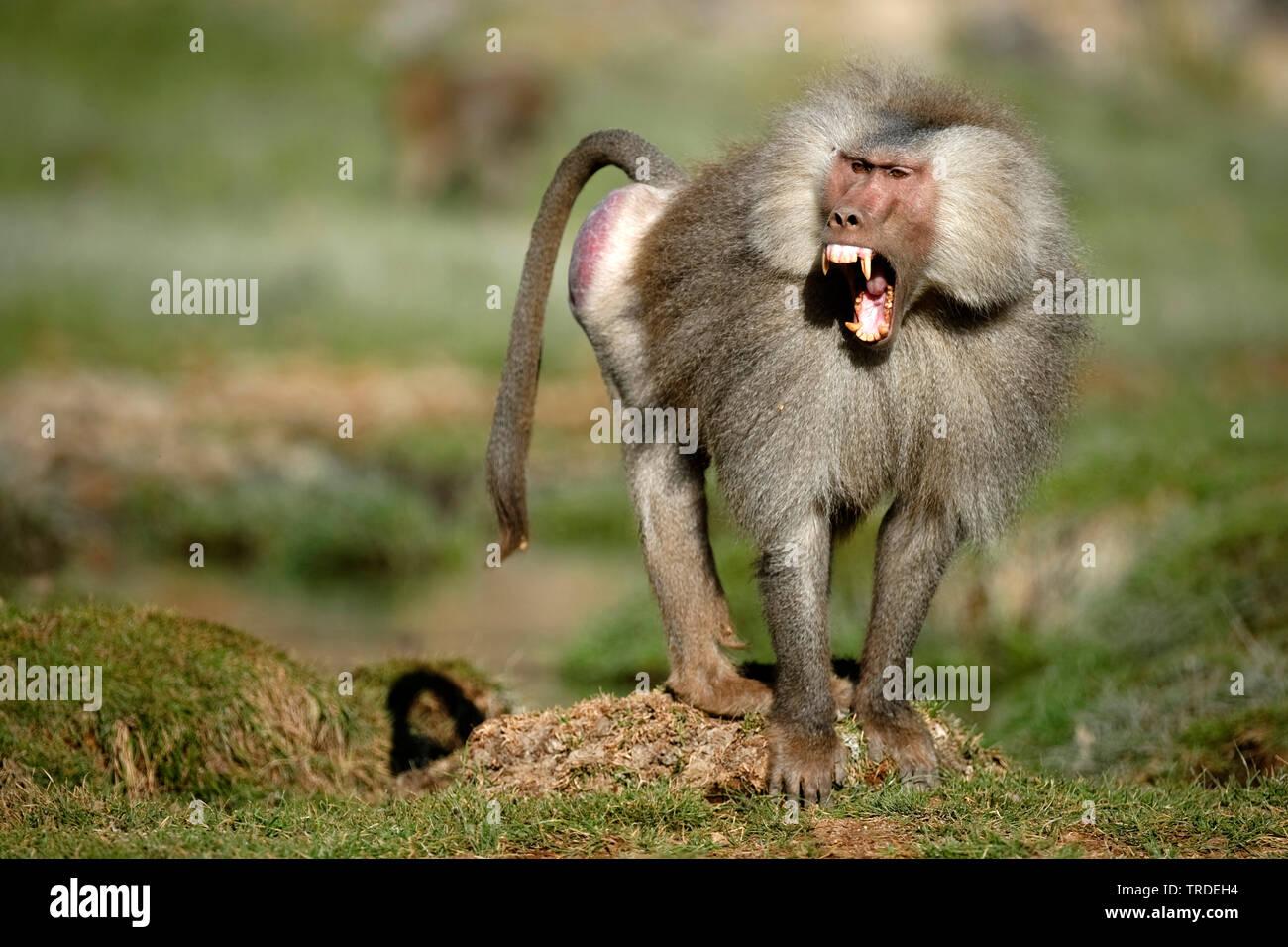 Mantelpavian, Mantel-Pavian (Papio hamadryas), drohend, Aethiopien, Awash Nationalpark   hamadryas baboon, sacred baboon (Papio hamadryas), threatenin - Stock Image