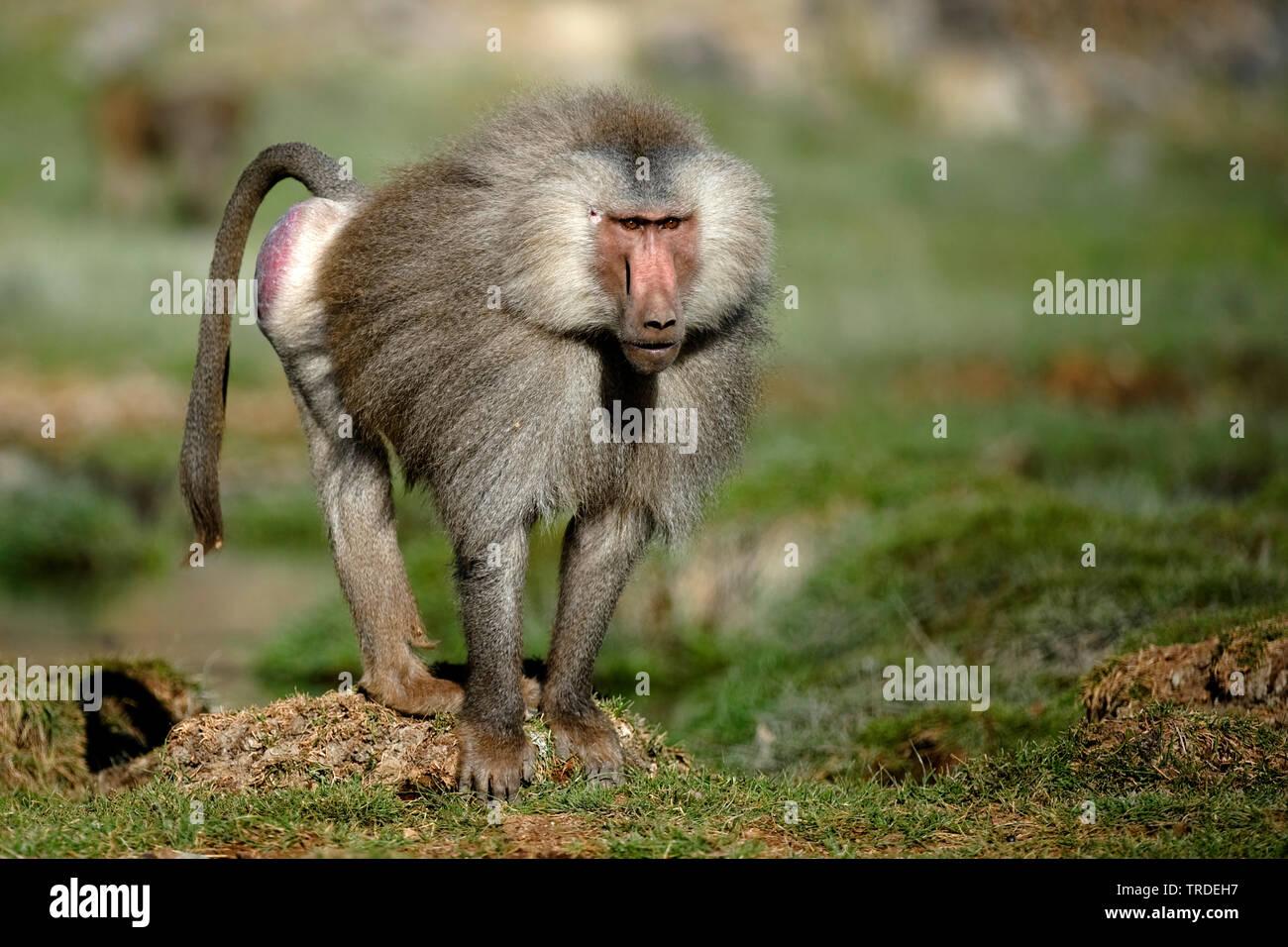 Mantelpavian, Mantel-Pavian (Papio hamadryas), Aethiopien, Awash Nationalpark   hamadryas baboon, sacred baboon (Papio hamadryas), Ethiopia, Awash Nat - Stock Image