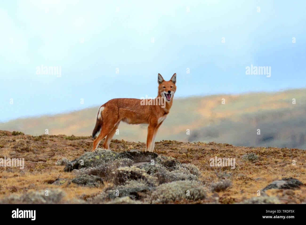 Abessinischer Fuchs, Aethiopischer Wolf (Canis simensis), stehend, Aethiopien, Bale Mountains Nationalpark | Simien jackal, Ethiopian wolf, Simien fox - Stock Image