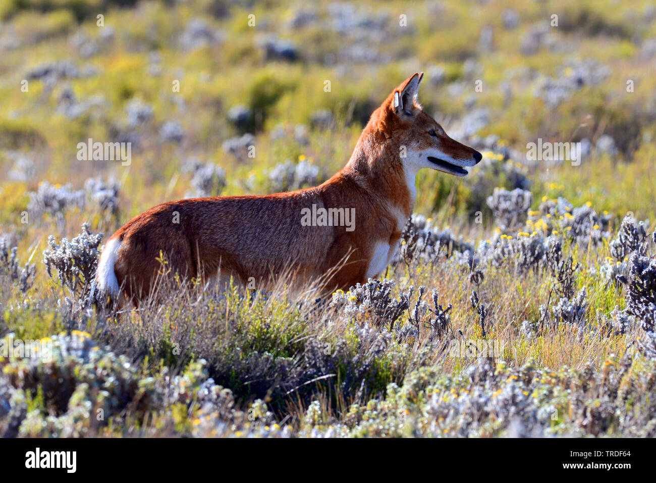 Simien jackal, Ethiopian wolf, Simien fox (Canis simensis), an endangered predator endemic to the Ethiopian Highlands., Ethiopia, Bale Mountains National Park Stock Photo