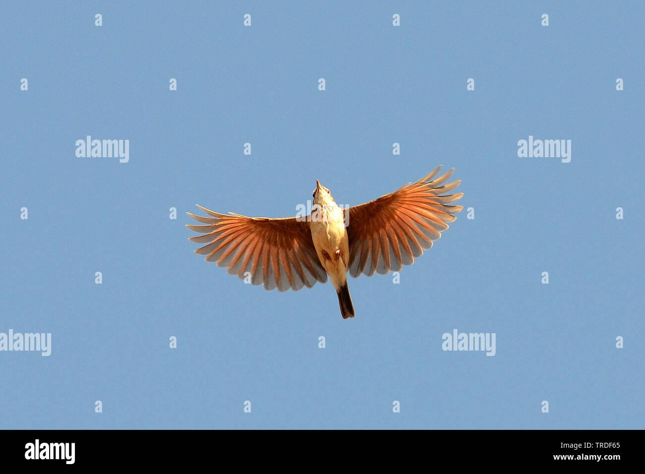 Fuchslerche, Fuchs-Lerche (Calendulauda alopex), fliegend, Aethiopien   Foxy Lark (Calendulauda alopex), in flight, Ethiopia   BLWS502344.jpg [ (c) bl - Stock Image