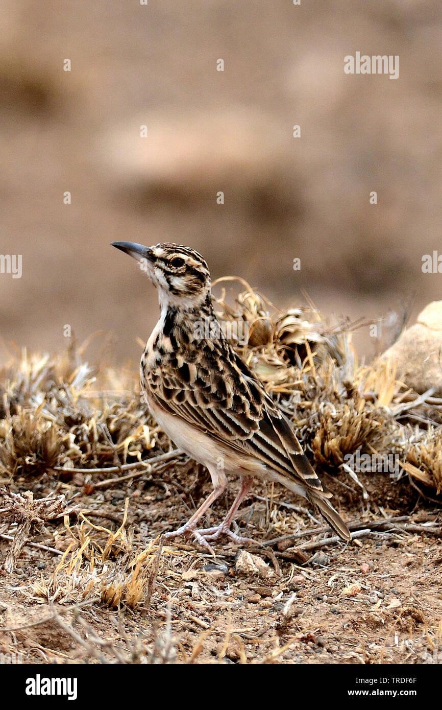 Bartlerche, Bart-Lerche (Pseudalaemon fremantlii, Spizocorys fremantlii), Aethiopien | short-tailed lark (Pseudalaemon fremantlii, Spizocorys fremantl - Stock Image