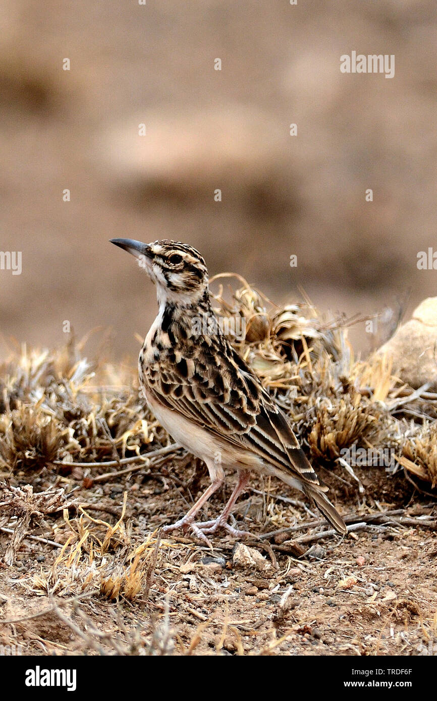short-tailed lark (Pseudalaemon fremantlii, Spizocorys fremantlii), Ethiopia Stock Photo