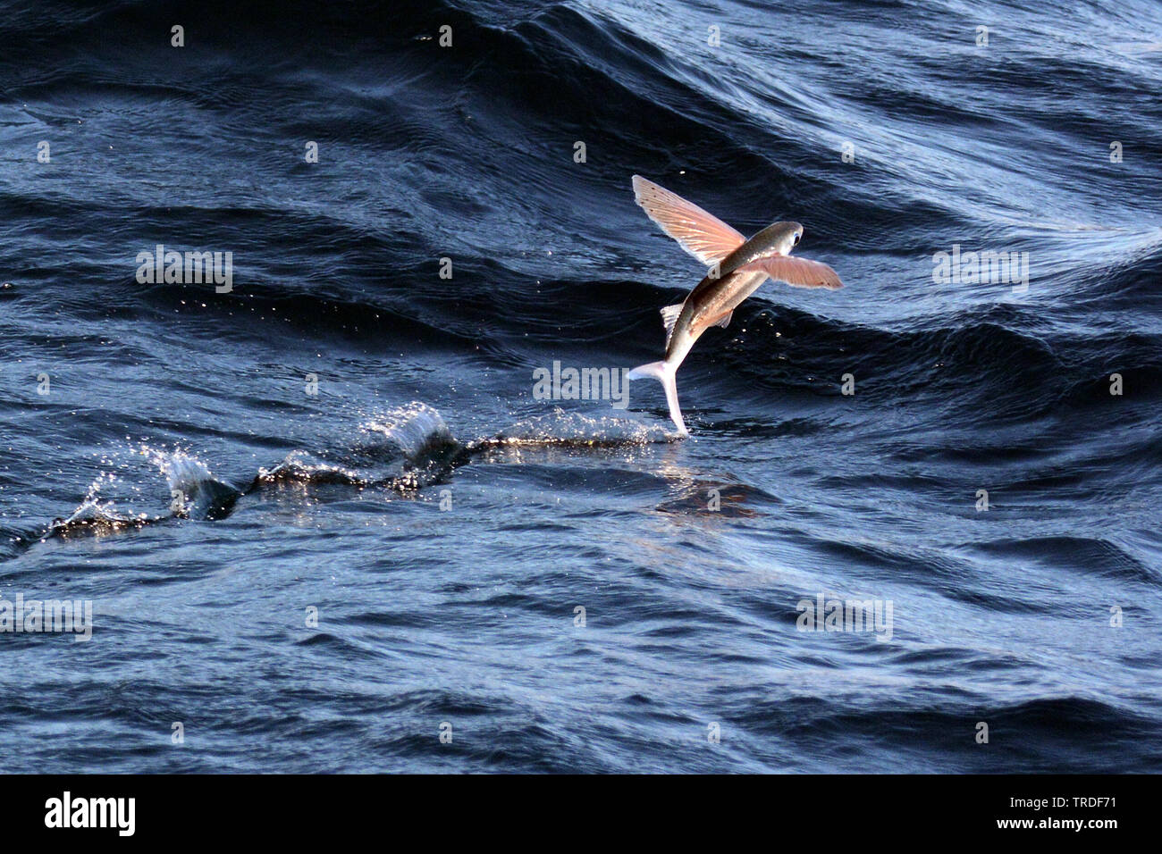 Flying fish, Solomon Islands, Rennell and Bellona Province, Rennell Island Stock Photo
