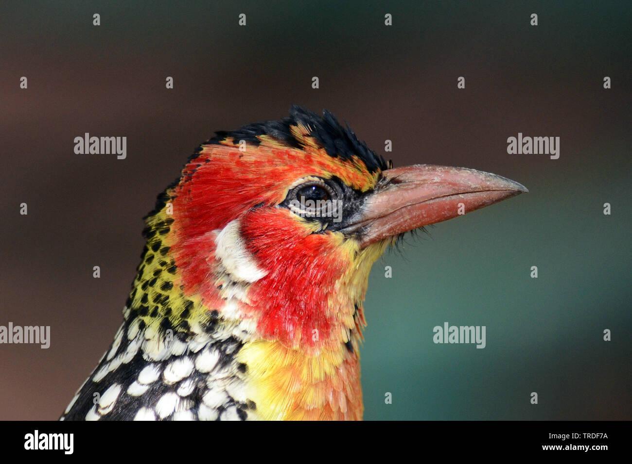 Flammenkopf-Bartvogel, Flammenkopfbartvogel (Trachyphonus erythrocephalus), Portraet, Tansania, Lake Manyara Nationalpark | Red-and-yellow barbet (Tra - Stock Image
