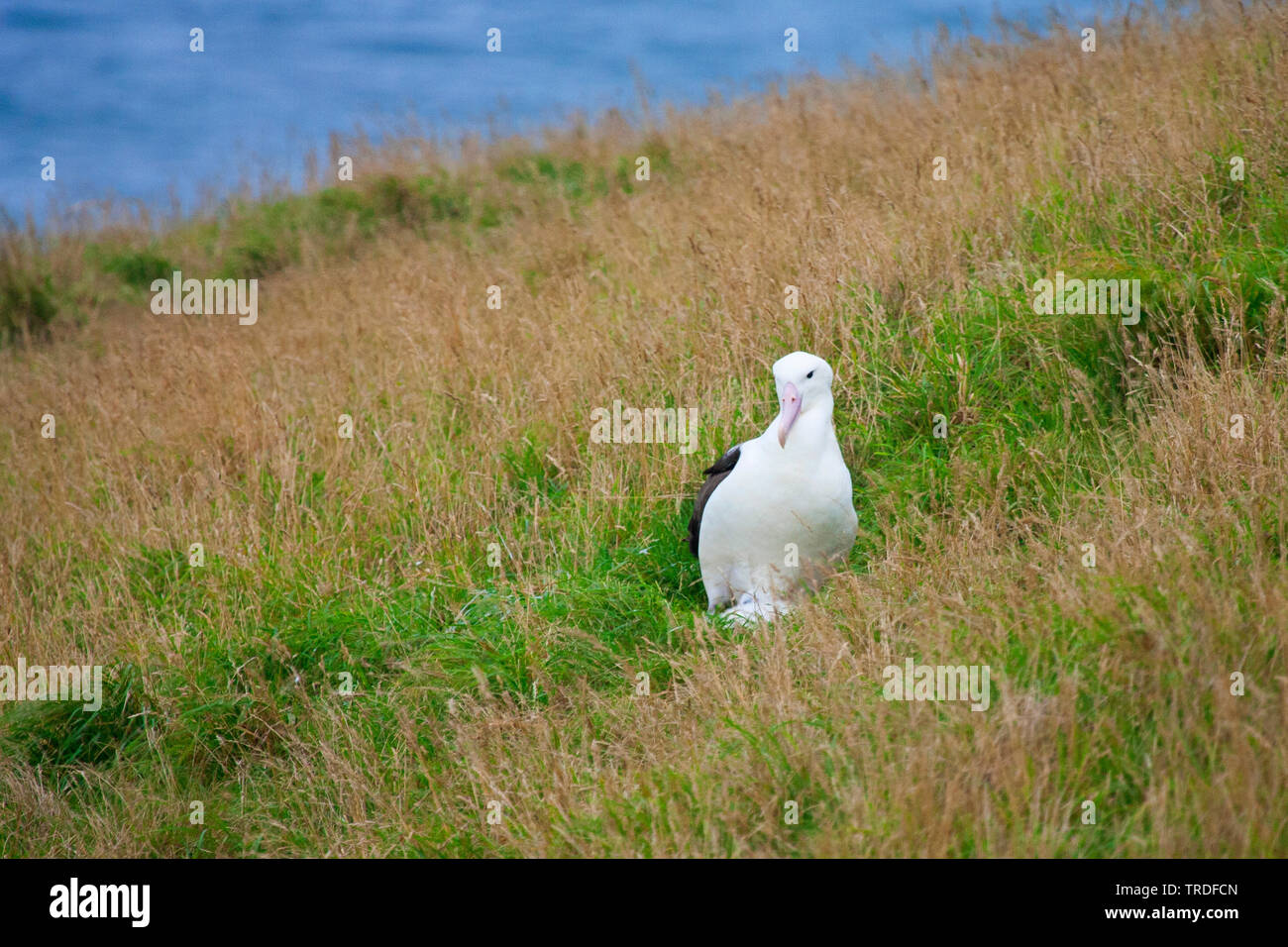 Noerdlicher Koenigsalbatros, Noerdlicher Koenigs-Albatros (Diomedea sanfordi), im Gras, Neuseeland | Northern Royal Albatross (Diomedea sanfordi), in - Stock Image