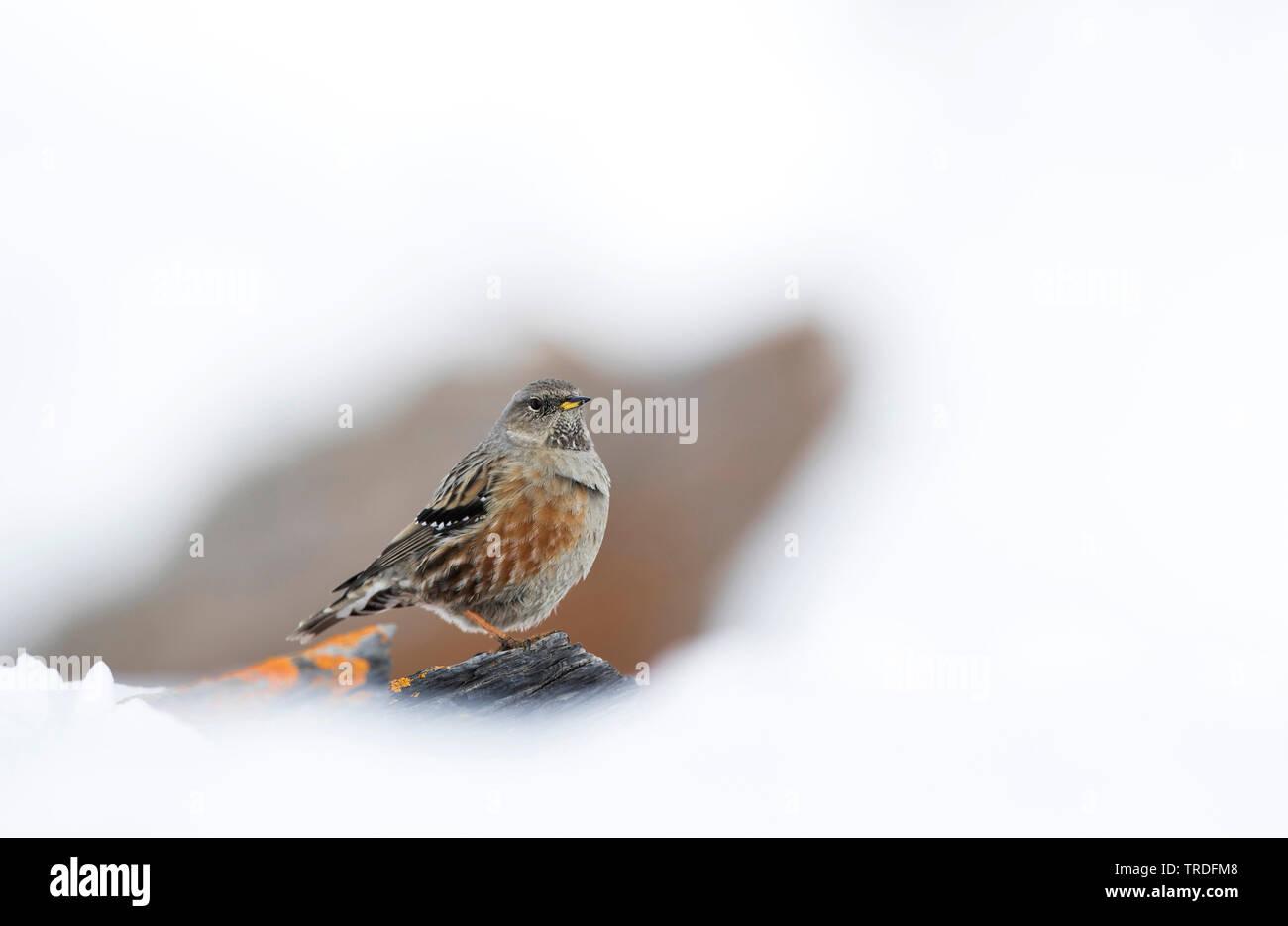 Alpenbraunelle, Alpen-Braunelle (Prunella collaris, Prunella collaris collaris), sitzt im Schnee, Schweiz | Alpine accentor (Prunella collaris, Prunel - Stock Image