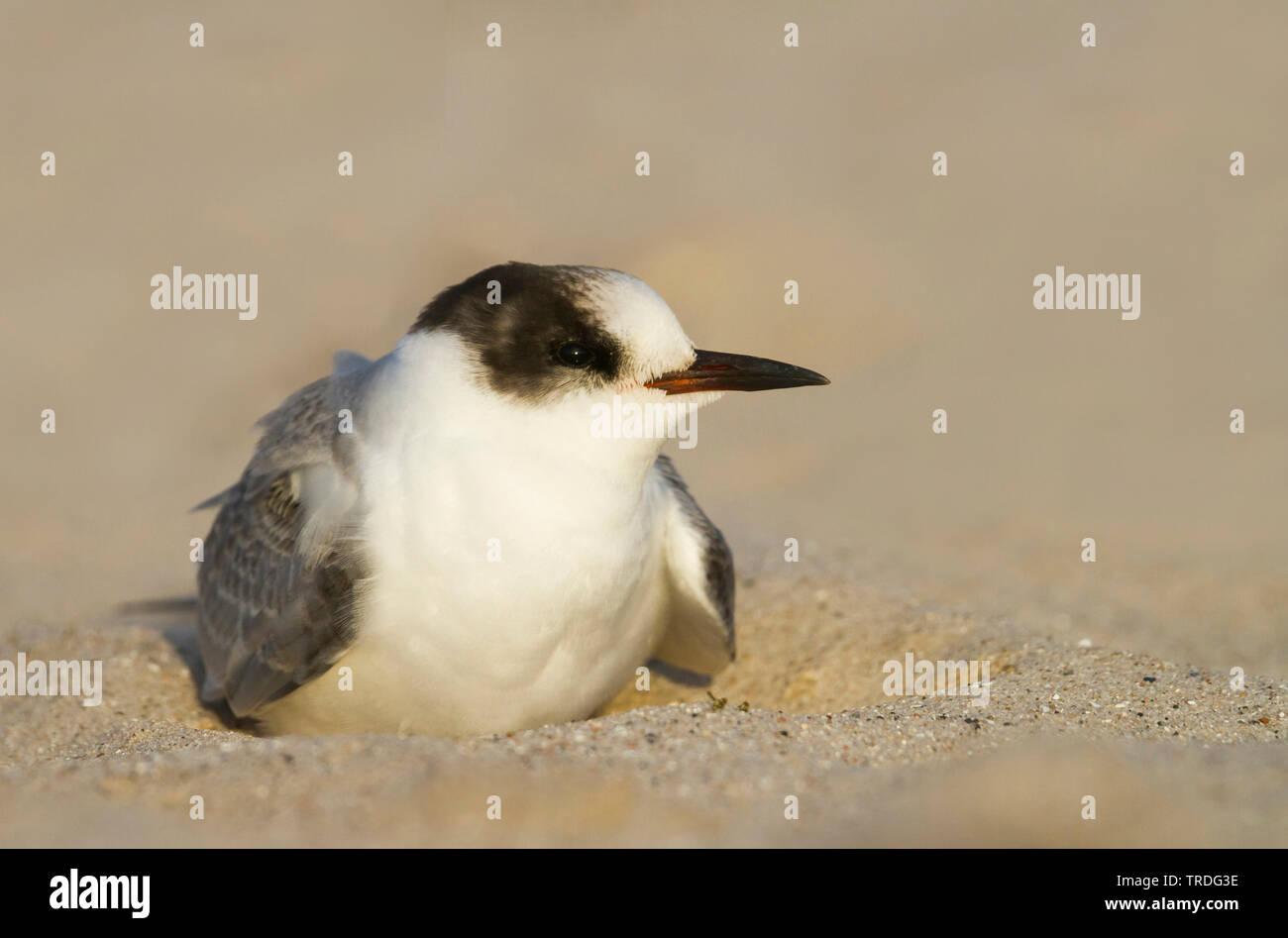 arctic tern (Sterna paradisaea), resting, Germany Stock Photo