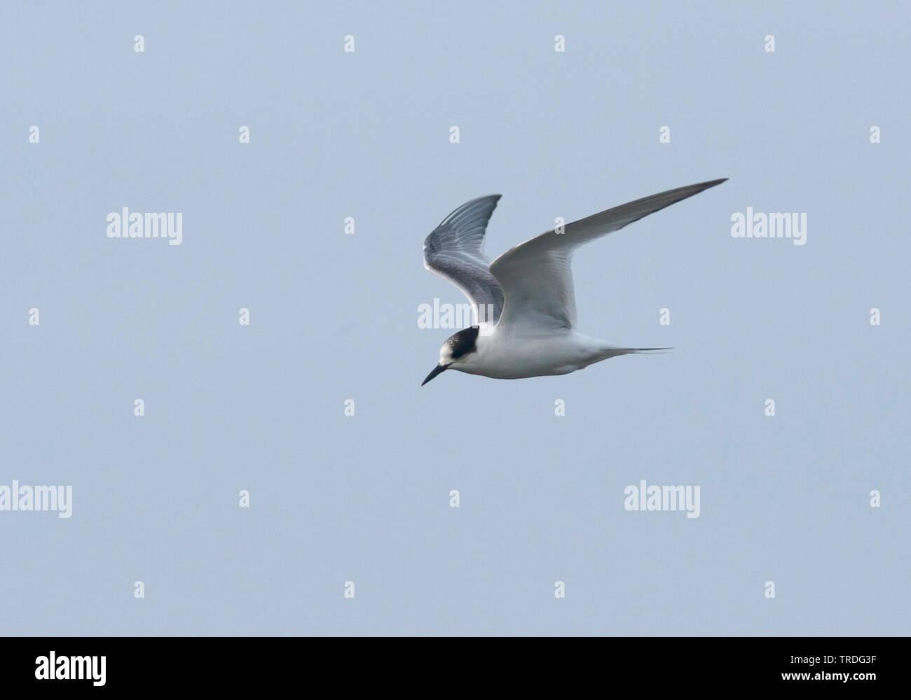 Kuestenseeschwalbe, Kuesten-Seeschwalbe (Sterna paradisaea), fliegen, Deutschland | arctic tern (Sterna paradisaea), flying, Germany | BLWS503030.jpg - Stock Image