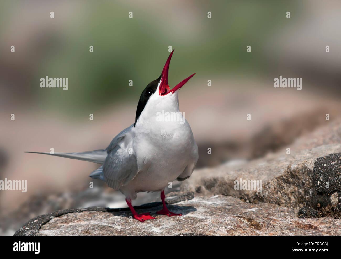 Kuestenseeschwalbe, Kuesten-Seeschwalbe (Sterna paradisaea), am Boden, rufend, Deutschland   arctic tern (Sterna paradisaea), on the ground, calling, Stock Photo
