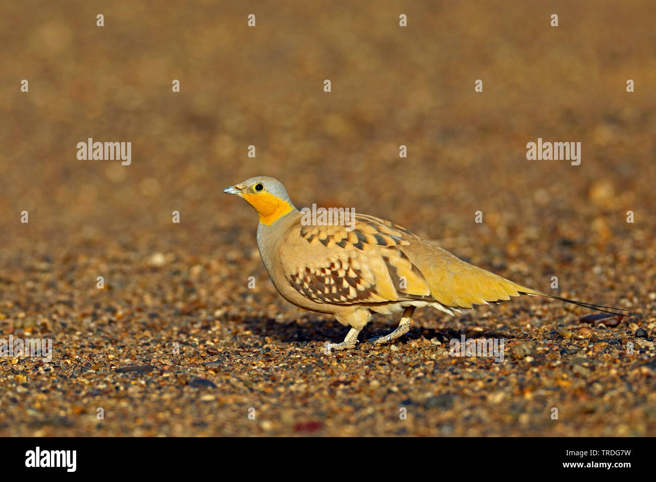 spotted sandgrouse (Pterocles senegallus), male perching on the ground, Morocco, Merzouga Stock Photo
