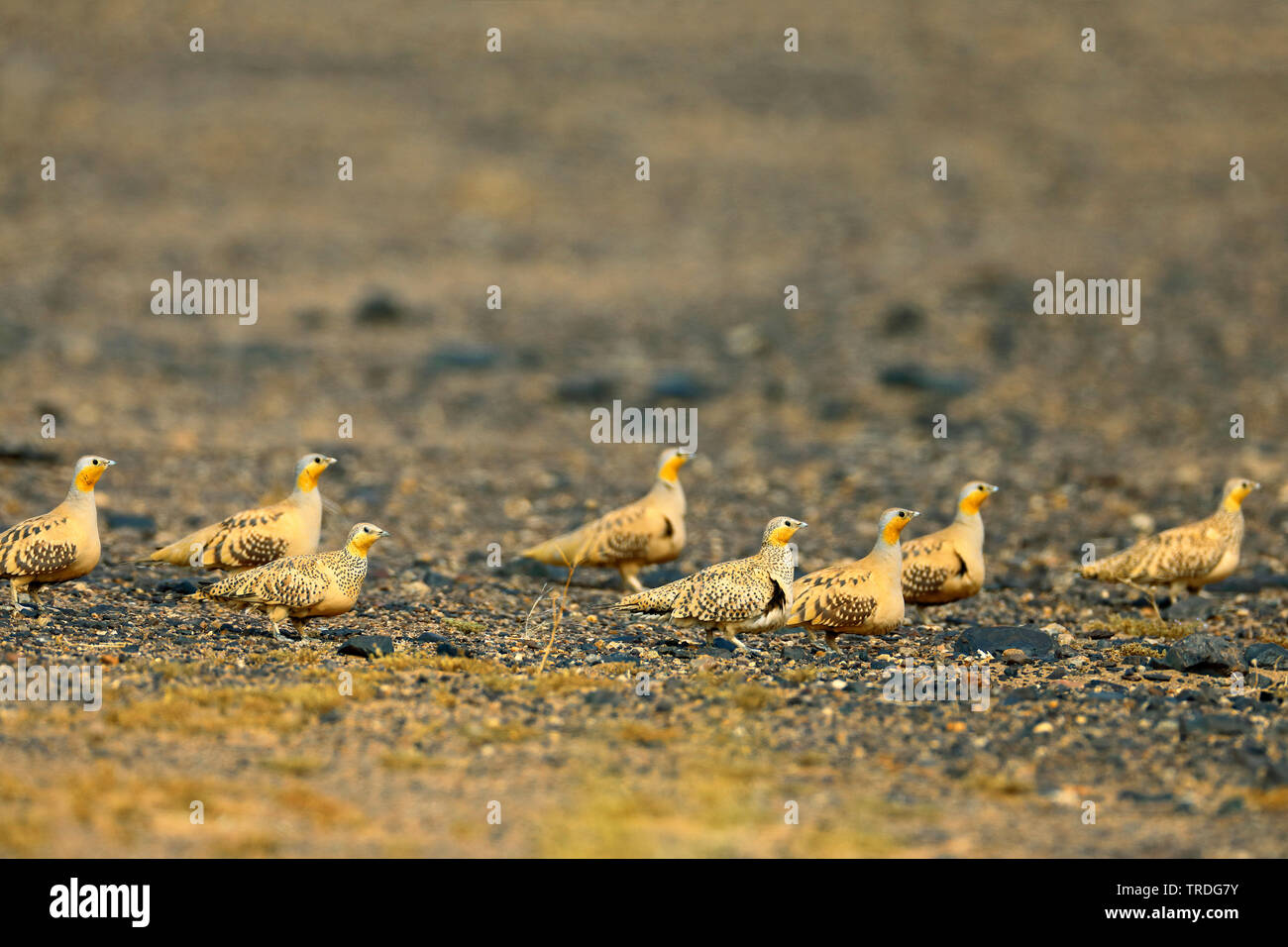 spotted sandgrouse (Pterocles senegallus), walking troop in the desert, Morocco, Merzouga Stock Photo
