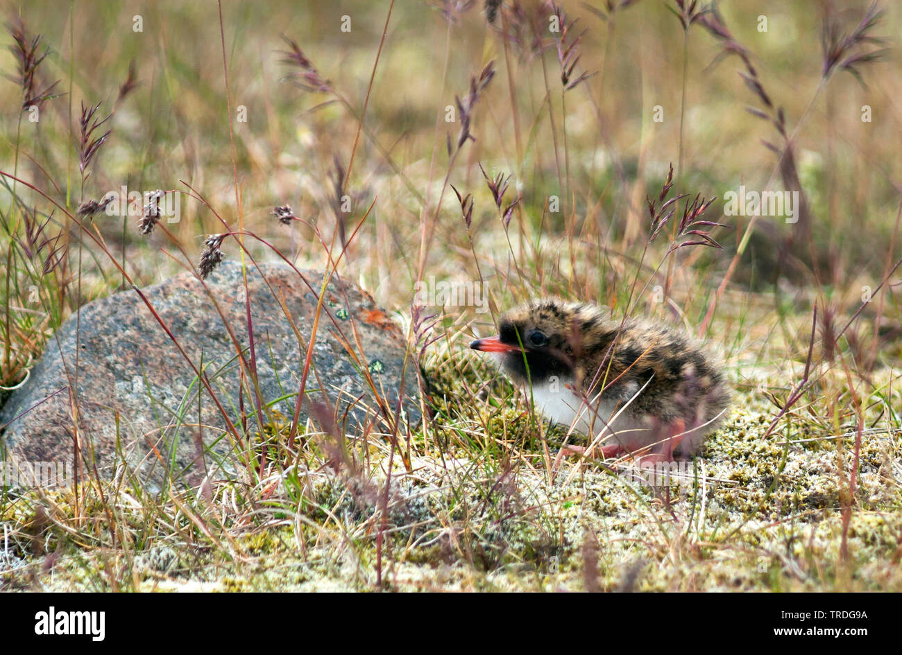 Kuestenseeschwalbe, Kuesten-Seeschwalbe (Sterna paradisaea), Kueken am Boden, Island | arctic tern (Sterna paradisaea), chick on the ground, Iceland | - Stock Image