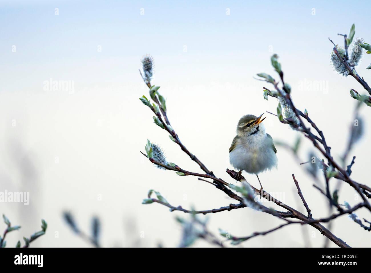 Wanderlaubsaenger, Wander-Laubsaenger (Phylloscopus borealis), singendes Maennchen auf einer Weide, Russland | arctic warbler (Phylloscopus borealis), - Stock Image