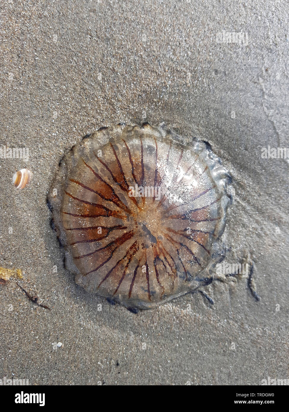 compass jellyfish, red-banded jellyfish (Chrysaora hysoscella), washed up on the beach, Netherlands Stock Photo