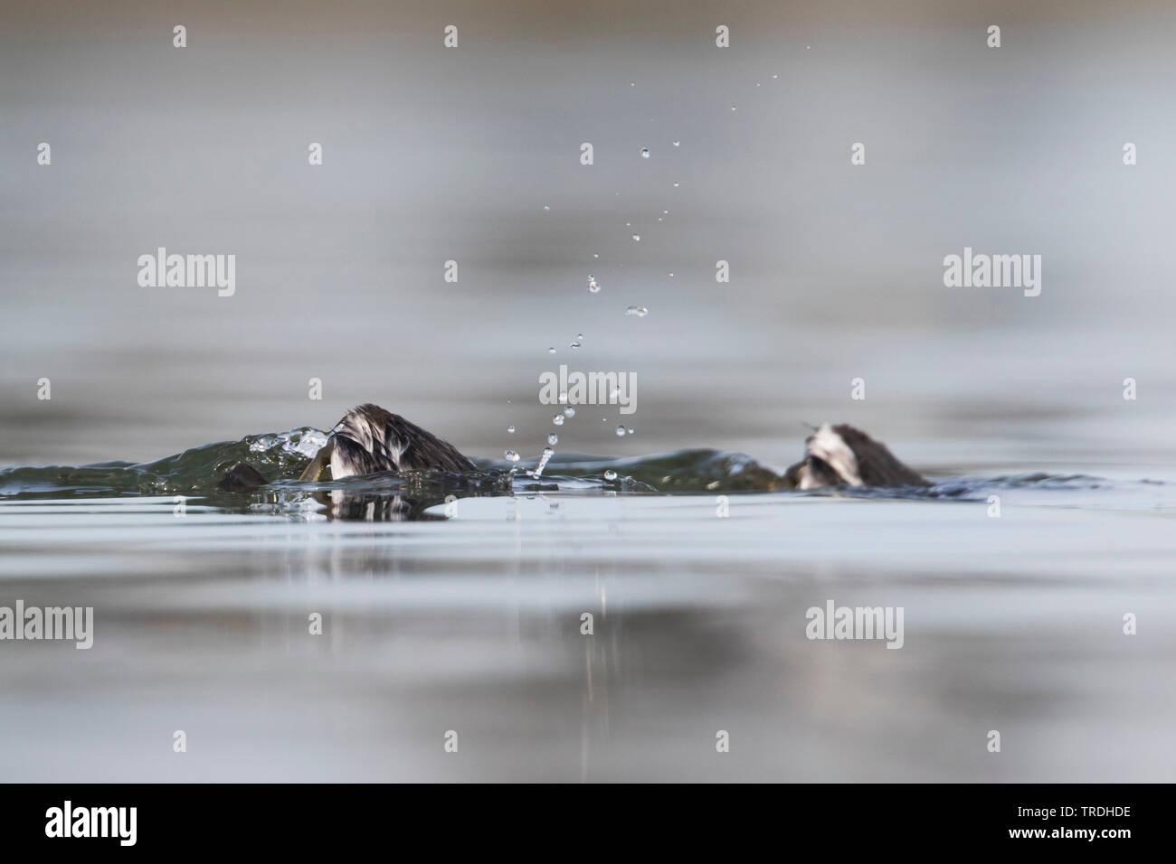 Schwarzhalstaucher, Schwarzhals-Taucher (Podiceps nigricollis), Altvoegel auf dem Wasser, tauchen ab, Deutschland | black-necked grebe (Podiceps nigri - Stock Image