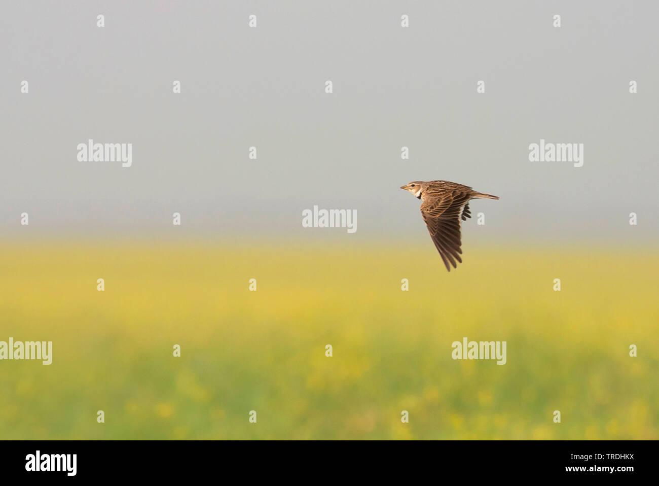 Syrien-Kalanderlerche, Syrien-Kalander-Lerche, Syrienkalanderlerche (Melanocorypha calandra hebraica, Melanocorypha hebraica), Altvogel im Flug, Tuerk - Stock Image
