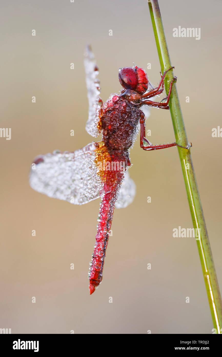Broad Scarlet, Common Scarlet-darter, Scarlet Darter, Scarlet Dragonfly (Crocothemis erythraea, Croccothemis erythraea), male covered with morning dew, Netherlands Stock Photo
