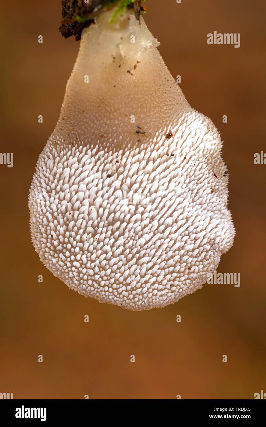 Gallertige Zitterzahn, Zitterzahn, Eispilz, Eiszitterpilz, Gallertstacheling (Pseudohydnum gelatinosum), auf Totholz, Netherlands | jelly tooth (Pseud - Stock Image