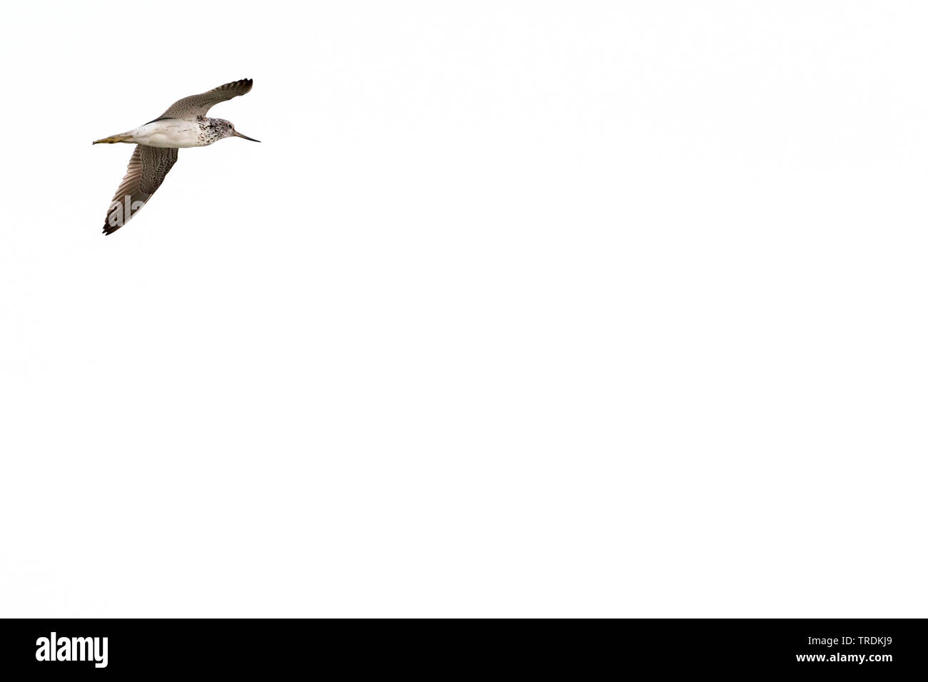 Gruenschenkel (Tringa nebularia), im Flug, Deutschland | common greenshank (Tringa nebularia), flying, Germany | BLWS505736.jpg [ (c) blickwinkel/AGAM - Stock Image
