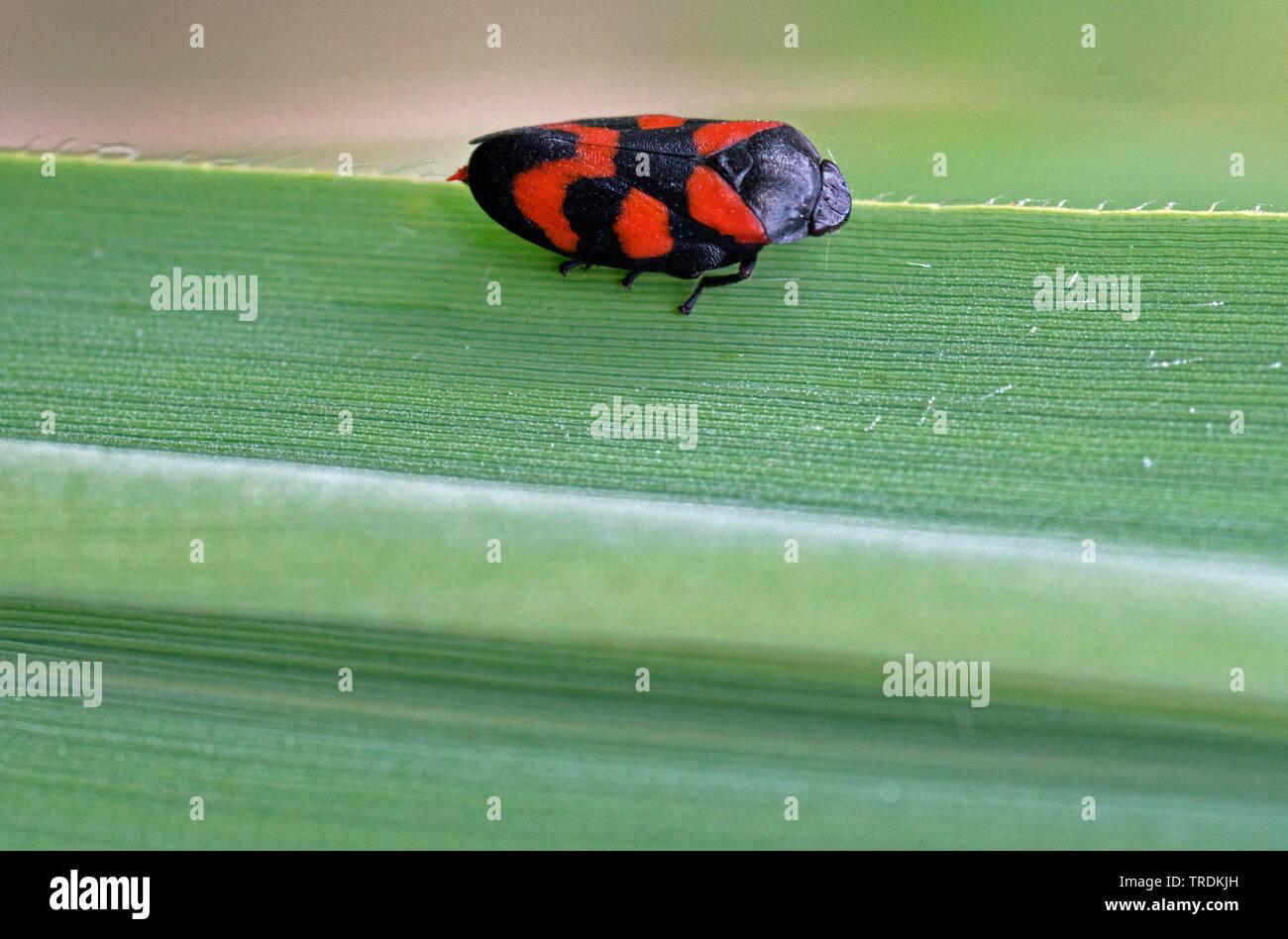 Rotschwarze Schaumzikade, Blutzikade, Blut-Zikade (Cercopis vulnerata, Cercopis sanguinea), sitzt auf einem Blatt, Deutschland, Bayern, Murnauer Moos - Stock Image