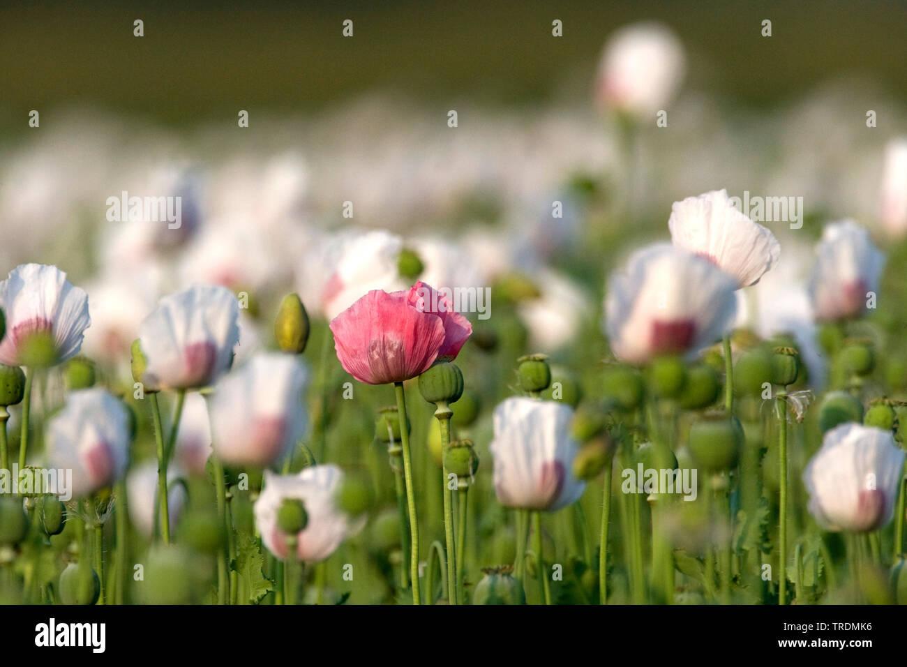 Schlafmohn, Schlaf-Mohn (Papaver somniferum), Schlafmohnfeld, Niederlande, Gelderland, Ooijpolder, Nijmegen | opium poppy (Papaver somniferum), opium - Stock Image