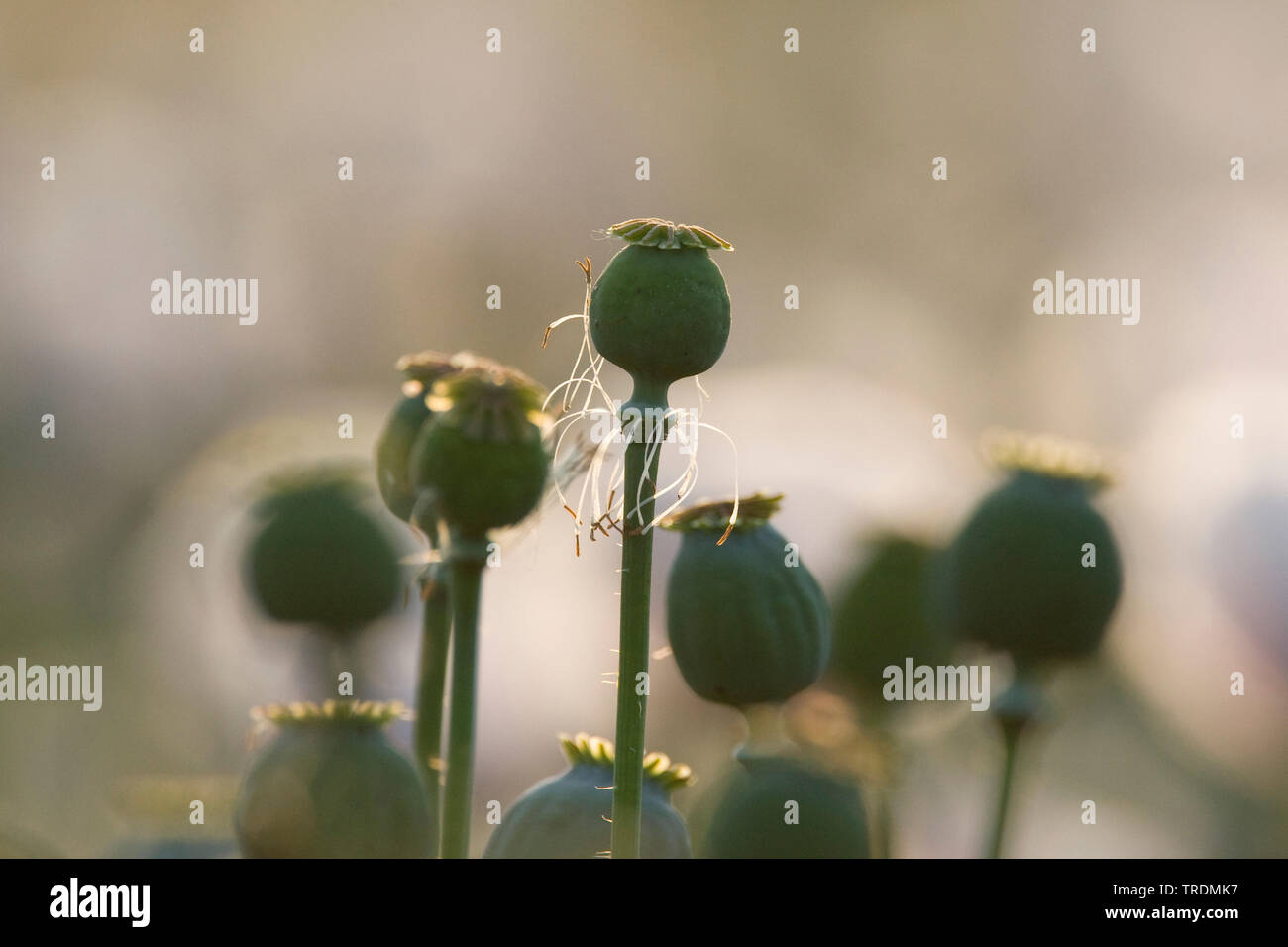 Schlafmohn, Schlaf-Mohn (Papaver somniferum), Mohnkapseln, Niederlande, Gelderland, Ooijpolder, Nijmegen | opium poppy (Papaver somniferum), capsules, - Stock Image