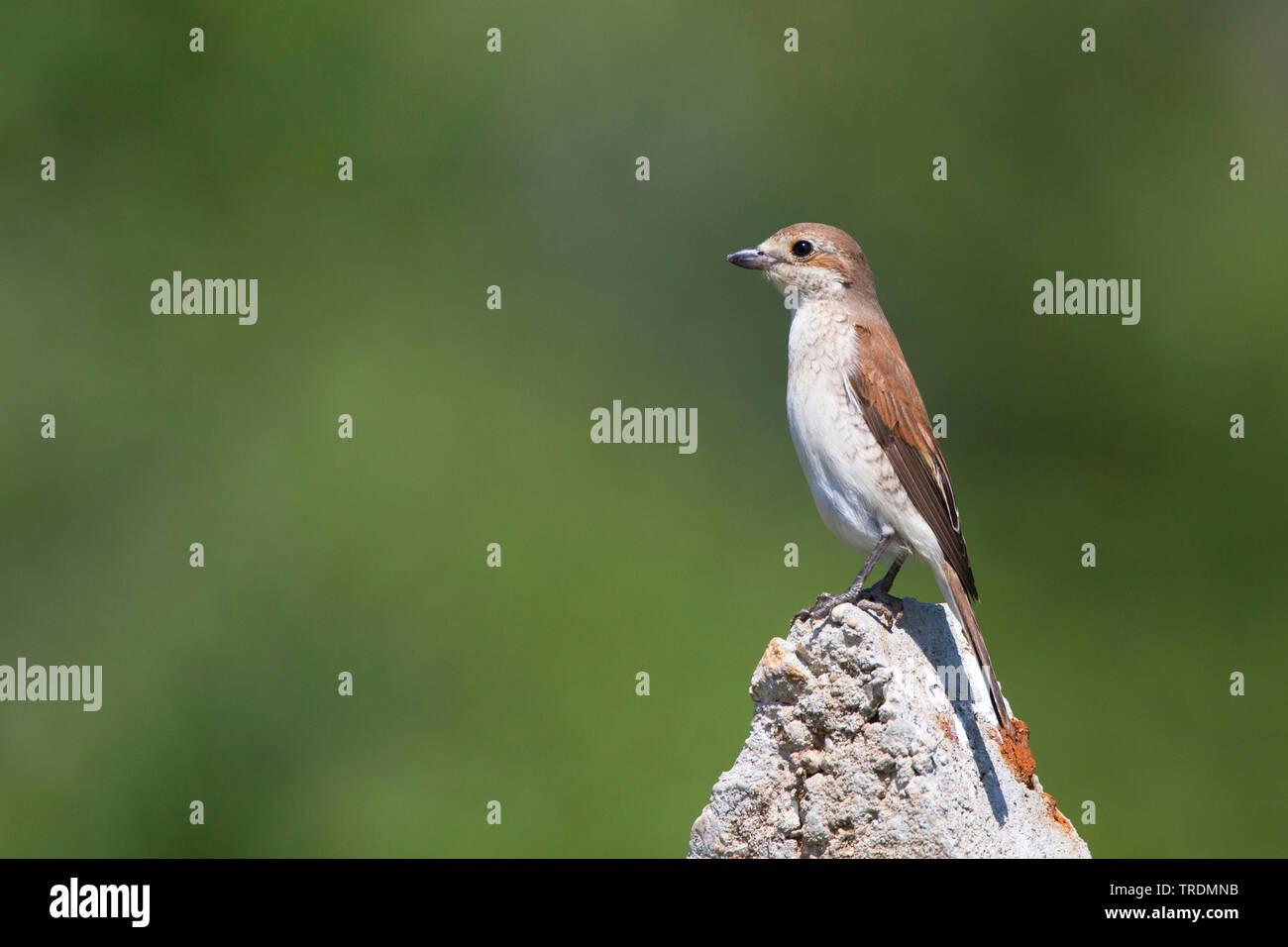 red-backed shrike (Lanius collurio), fe male on a post, Bulgaria - Stock Image