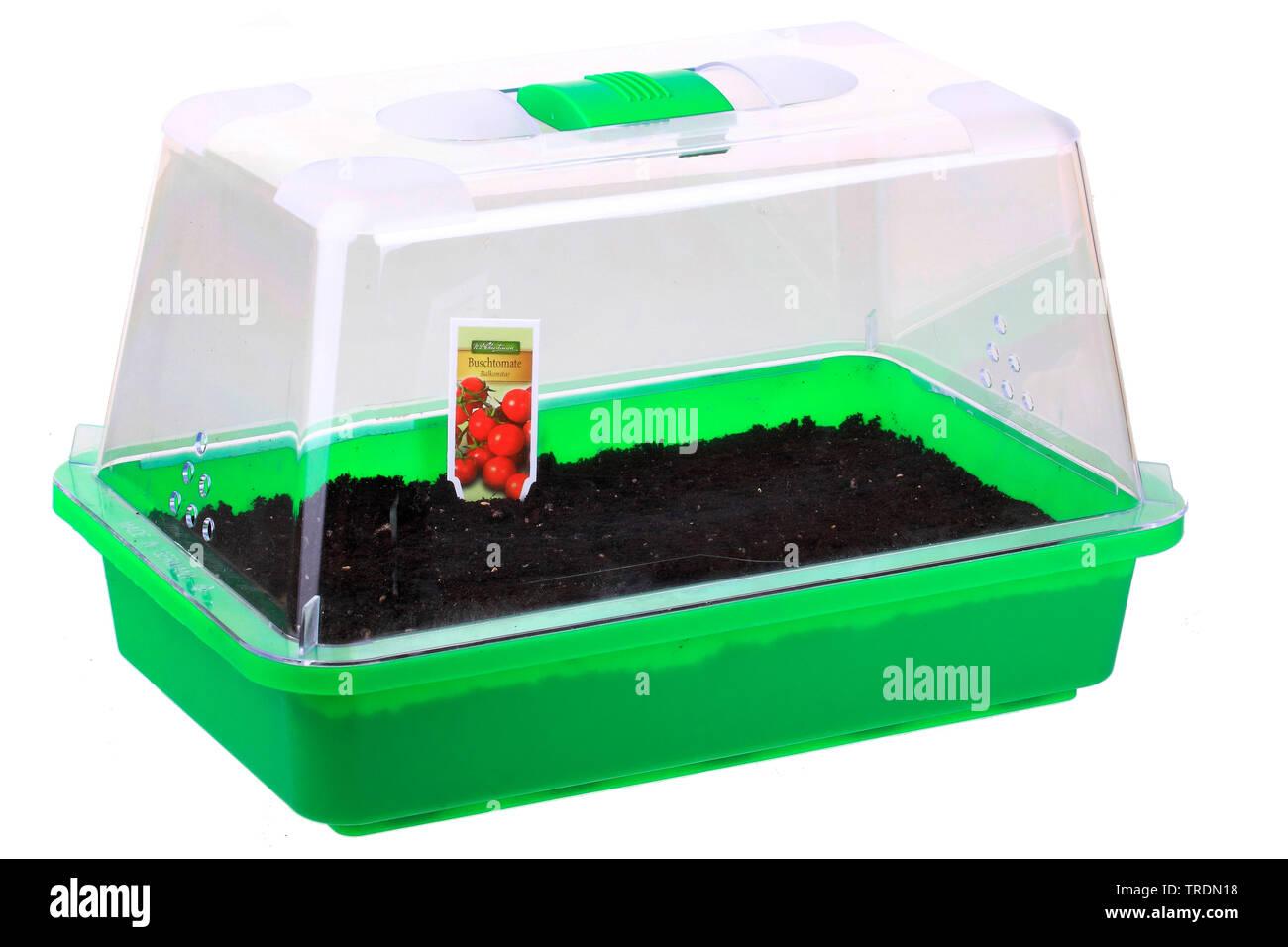 Tomate, Strauchtomate (Lycopersicon lycopersicum), Tomaten, ausgesaet in einer Anzuchtschale, Deutschland | tomato (Lycopersicon lycopersicum), sowing - Stock Image