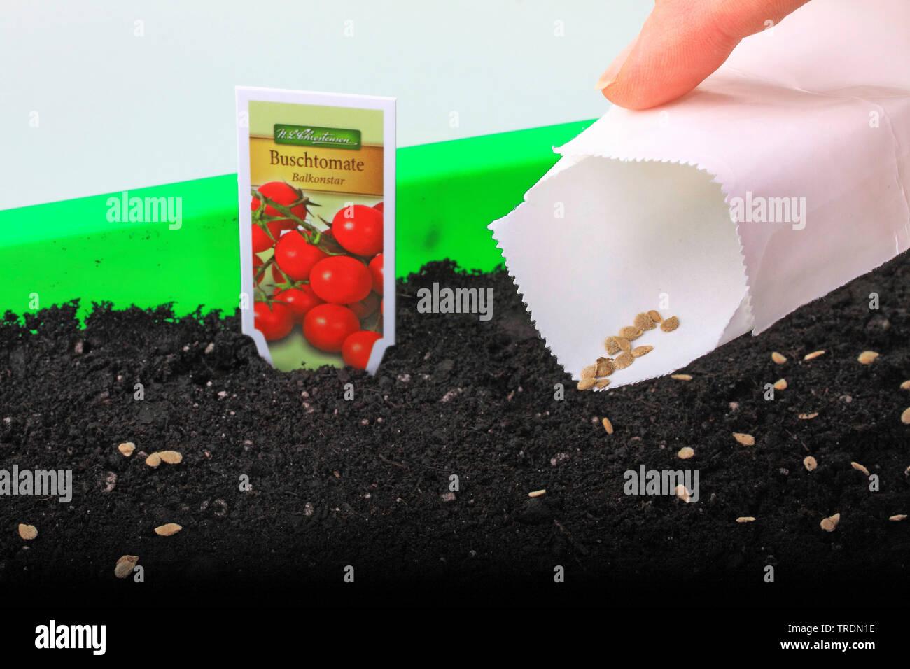 Tomate, Strauchtomate (Lycopersicon lycopersicum), Tomaten werden in einer Anzuchtschale ausgesaet, Deutschland | tomato (Lycopersicon lycopersicum), - Stock Image