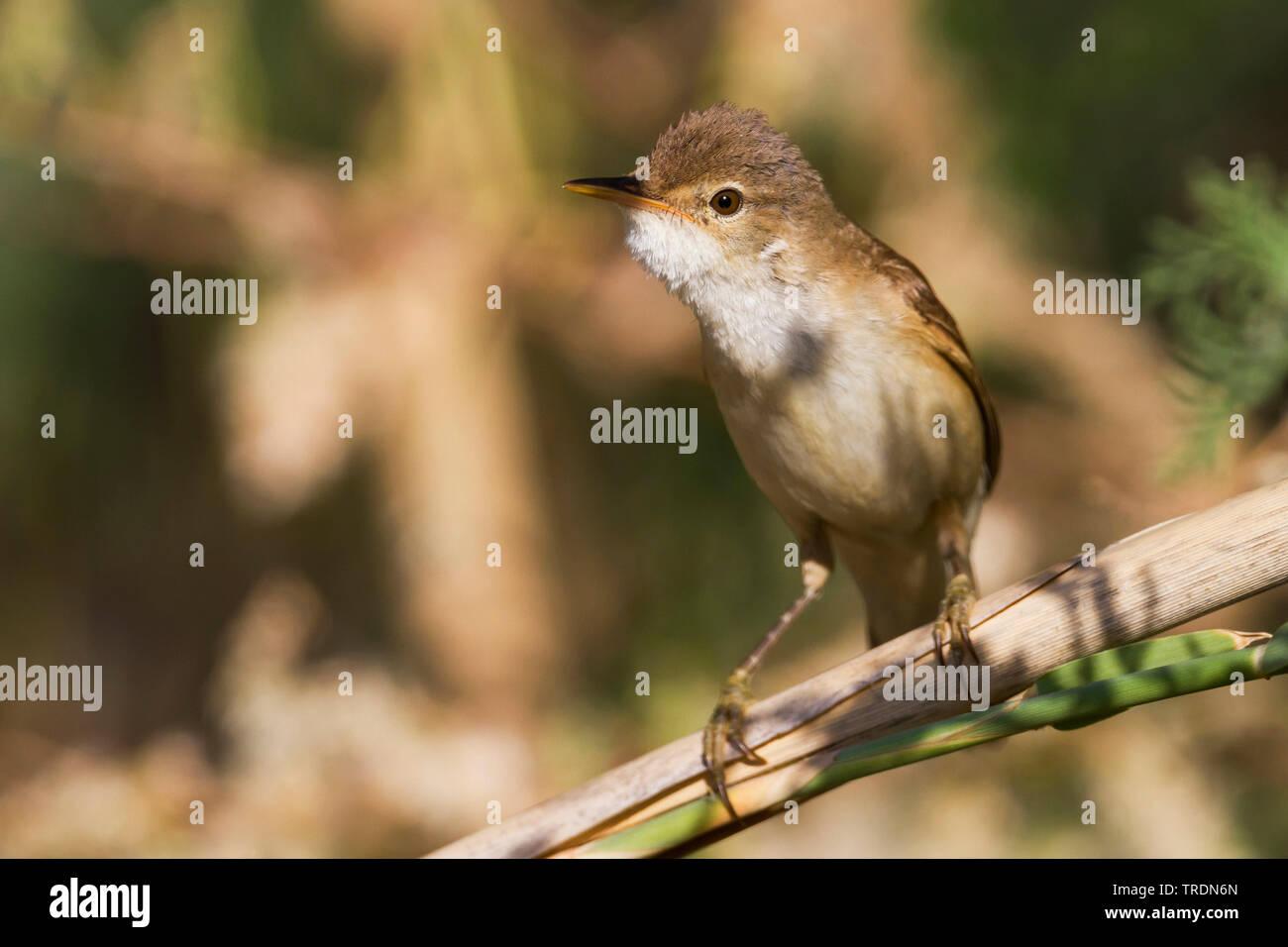 Eurasian Reed Warbler, Caspian Reed Warbler (Acrocephalus scirpaceus ssp. fuscus, Acrocephalus scirpaceus fuscus, Acrocephalus fuscus), perching an reed, Cyprus Stock Photo