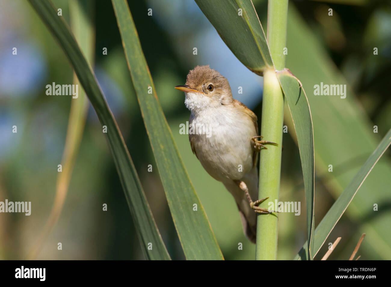 Eurasian Reed Warbler, Caspian Reed Warbler (Acrocephalus scirpaceus ssp. fuscus, Acrocephalus scirpaceus fuscus, Acrocephalus fuscus), perching at reed, Cyprus Stock Photo