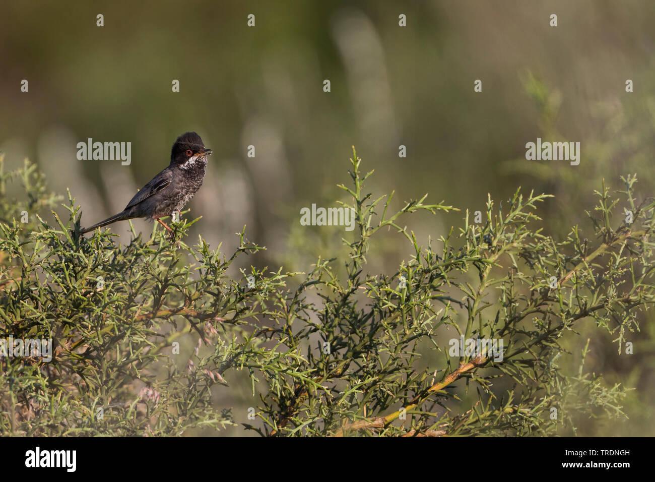 cyprus warbler (Sylvia melanothorax), male on a bush, Cyprus Stock Photo