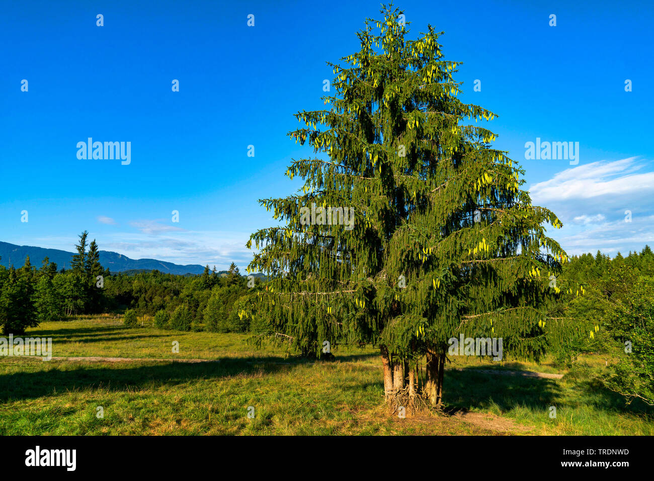 Norway spruce (Picea abies), spruces with cones, Germany, Bavaria, Oberbayern, Upper Bavaria - Stock Image