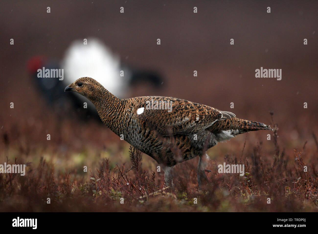 black grouse (Lyrurus tetrix, Tetrao tetrix), standing on the ground, Netherlands Stock Photo