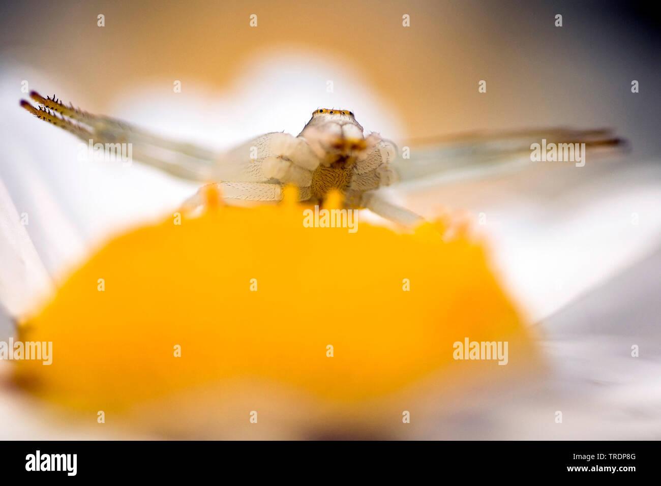 Veraenderliche Krabbenspinne, Veraenderliche Krabben-Spinne (Misumena vatia), lauert auf einer Margerite, Ungarn | goldenrod crab spider (Misumena vat - Stock Image