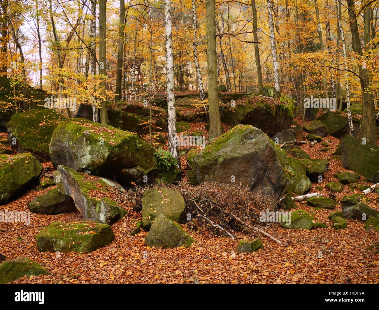 autumn forest of Elbsandsteingebirge, Germany, Saxony, Saxon Switzerland National Park - Stock Image